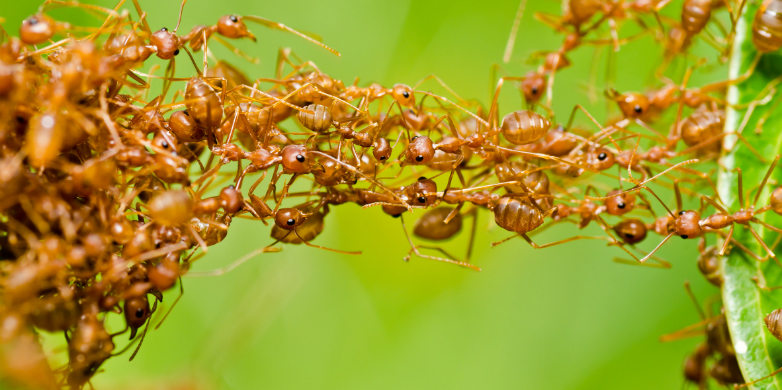 Ants collaborating
